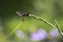 mayfly-4811283_640